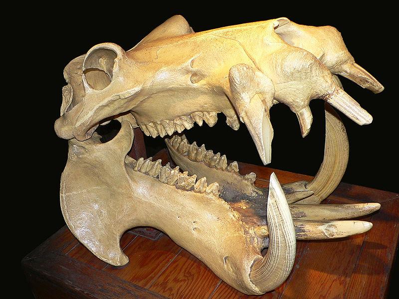 800px-Hippo_skull_dark