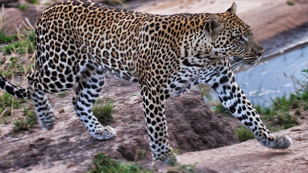 AW Leopard CU
